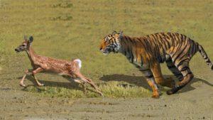 tiger chasing